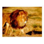 África, Namibia, Okonjima. León masculino Tarjetas Postales