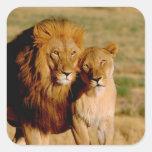 África, Namibia, Okonjima. León y leona Calcomania Cuadradas Personalizadas
