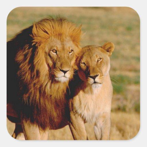 África, Namibia, Okonjima. León y leona Calcomanía Cuadradas Personalizada