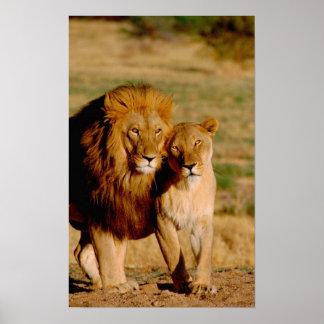 África, Namibia, Okonjima. León y leona Póster