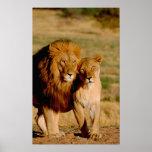 África, Namibia, Okonjima. León y leona Posters