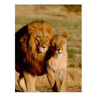 África, Namibia, Okonjima. León y leona Tarjeta Postal