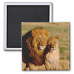 Africa, Namibia, Okonjima. Lion & lioness 2 Inch Square Magnet