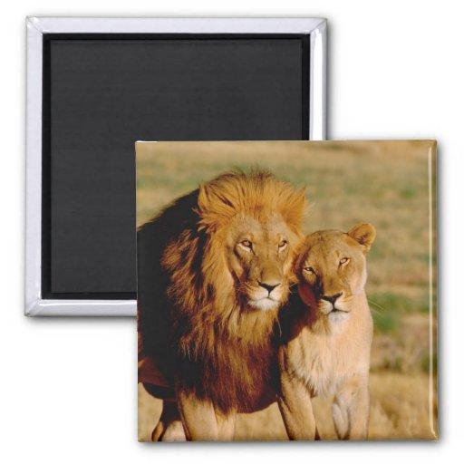 Africa, Namibia, Okonjima. Lion & lioness Magnets