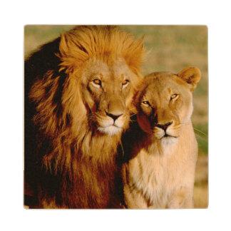 Africa Namibia Okonjima Lion lioness Wood Coaster