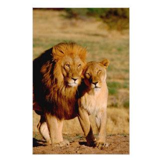 Africa, Namibia, Okonjima. Lion & lioness Photo Print