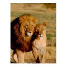 Africa, Namibia, Okonjima. Lion & lioness Postcard