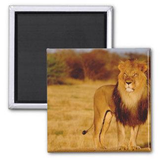 Africa, Namibia, Okonjima. Lone male lion 2 Inch Square Magnet
