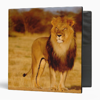 Africa, Namibia, Okonjima. Lone male lion Binders