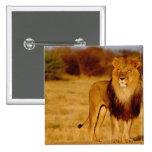 Africa, Namibia, Okonjima. Lone male lion 2 Inch Square Button