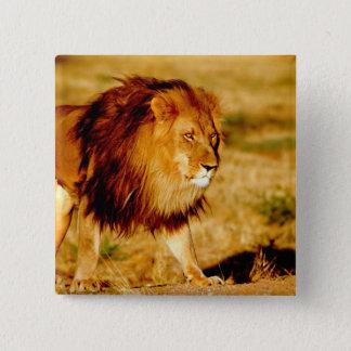 Africa, Namibia, Okonjima. Lone male lion. Button