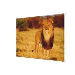 Africa, Namibia, Okonjima. Lone male lion Canvas Print