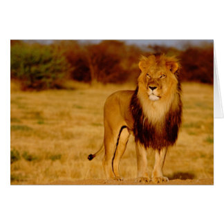 Africa, Namibia, Okonjima. Lone male lion Card