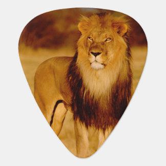 Africa, Namibia, Okonjima. Lone male lion Guitar Pick