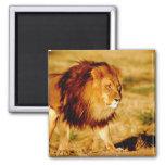 Africa, Namibia, Okonjima. Lone male lion. Magnets
