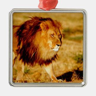 Africa, Namibia, Okonjima. Lone male lion. Metal Ornament