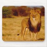 Africa, Namibia, Okonjima. Lone male lion Mouse Pad