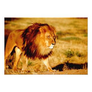 Africa, Namibia, Okonjima. Lone male lion. Photo Print