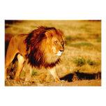 Africa, Namibia, Okonjima. Lone male lion. Photo Art