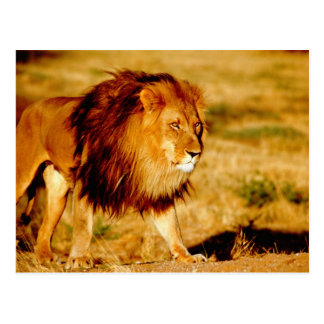 Africa, Namibia, Okonjima. Lone male lion. Postcard