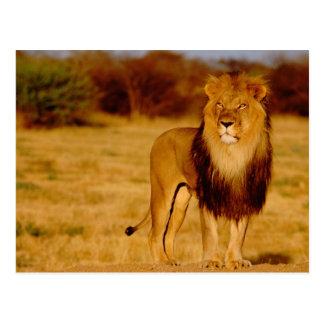 Africa, Namibia, Okonjima. Lone male lion Postcard