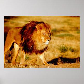 Africa, Namibia, Okonjima. Lone male lion. Poster