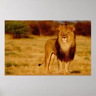 Africa, Namibia, Okonjima. Lone male lion Poster