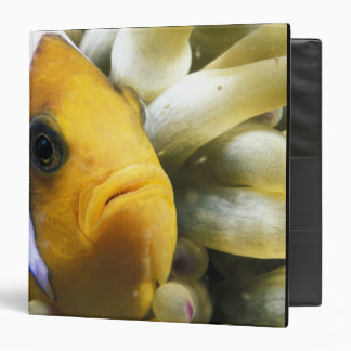 Africa, Red Sea. Twoband Anemonefish Binders