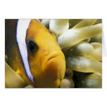 Africa, Red Sea. Twoband Anemonefish Card
