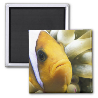 Africa, Red Sea. Twoband Anemonefish 2 Inch Square Magnet