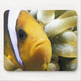 Africa, Red Sea. Twoband Anemonefish Mouse Pad