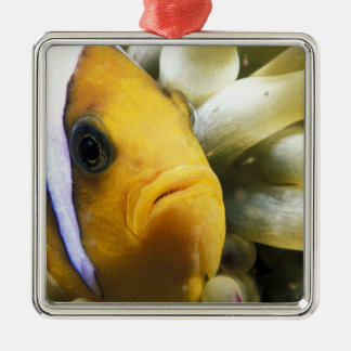 Africa, Red Sea. Twoband Anemonefish Square Metal Christmas Ornament
