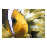 Africa, Red Sea. Twoband Anemonefish Photo Print