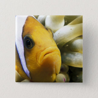 Africa, Red Sea. Twoband Anemonefish Pinback Button