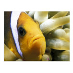 Africa, Red Sea. Twoband Anemonefish Postcard
