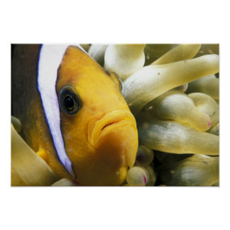 Africa, Red Sea. Twoband Anemonefish Poster