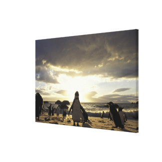 Africa, South Africa Black-footed penguins Canvas Print
