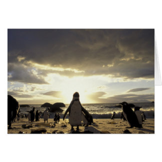 Africa, South Africa Black-footed penguins Card