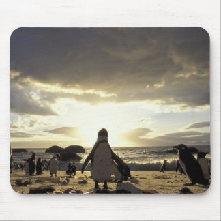 Africa, South Africa Black-footed penguins Mouse Pad