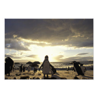 Africa, South Africa Black-footed penguins Photo Print