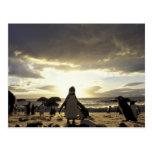 Africa, South Africa Black-footed penguins Postcard