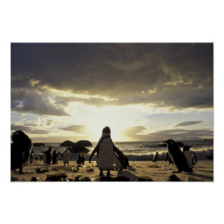 Africa, South Africa Black-footed penguins Poster