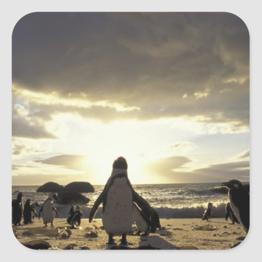 Africa, South Africa Black-footed penguins Sticker