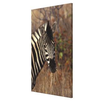 Africa, South Africa, Kruger NP Zebra portrait Canvas Print