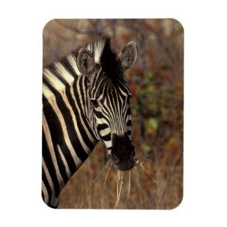 Africa, South Africa, Kruger NP Zebra portrait Magnet