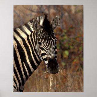 Africa, South Africa, Kruger NP Zebra portrait Poster