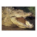 Africa, South Africa Nile crocodile Card
