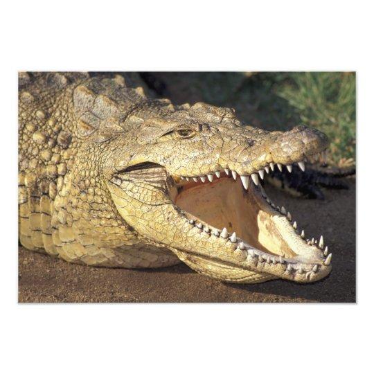 Africa, South Africa Nile crocodile Photo Print