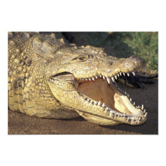 Africa, South Africa Nile crocodile Photograph