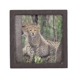 Africa, South Africa, Phinda Preserve. Cheetah Gift Box